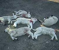 Lambs attacked by dog